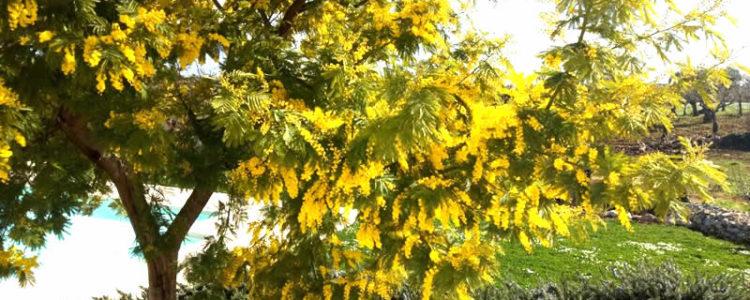 La Mimosa Fiorita
