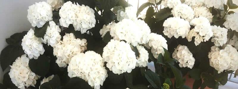 ortensie fiorite a casa di pier